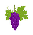 bunch of purple grapes vector image