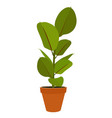 houseplant ficus potted plant vector image vector image
