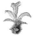 cocos weddelliana vintage vector image vector image
