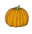fresh pumpkin hand drawn isolated icon vector image