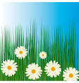 white chamomiles in green grass vector image