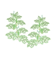 Cucumber plants with leaves flowers and cucumbers vector image