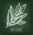 chalk sketch of bay leaves vector image