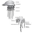 Man of War Jellyfish vector image vector image