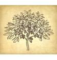 ink sketch cacao tree vector image vector image