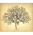 ink sketch of cacao tree vector image vector image