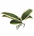 phalaenopsis variegata orchids leaves vector image