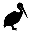 silhouette bird pelican on a white background vector image vector image