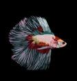 betta splendens siamese fighting fish on black vector image