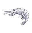 drawing shrimp vector image