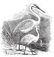 Great Egret Alba Engraving vector image