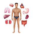 man with internal organs vector image