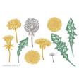 set hand drawn pastel dandelion vector image