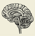 human brain - vintage engraved vector image vector image