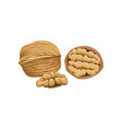whole half and peeled piece of walnut cartoon vector image vector image