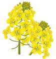 Rape flower brassica napu vector image
