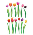 realistic multicolor tulips set vector image vector image