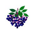 cartoon fresh elderberries isolated on white bg vector image