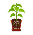houseplant with roots icon vector image vector image