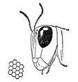 head of grasshopper vintage vector image vector image