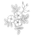 drawing flowers wild rose vector image