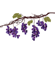Vine with grapes vector image vector image