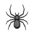 spider black arachnid on white background vector image vector image