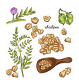 chickpea plant hand drawn vector image vector image