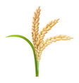 rice ear realistic vector image vector image
