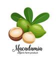 macadamia nuts in cartoon style vector image