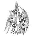eucalyptus leucoxylon vintage vector image vector image