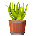 an aloe vera plant in pot vector image vector image