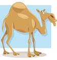 dromedary camel cartoon vector image vector image