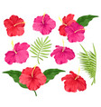 hibiscus flowers pink and vector image