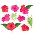 hibiscus flowers pink vector image