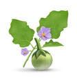thai eggplant and green leave with purple flower vector image vector image