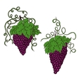 Hand drawn grapes vector image vector image