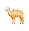 watercolor camel on white background vector image vector image