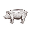 farm pig animal sketch isolated pork on the white vector image vector image
