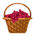 grapes harvest in basket winemaking and farm vector image