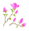 Stem chinese magnolia blooming pink flowers