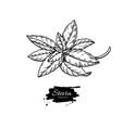 stevia drawing herbal sketch of sweetener vector image vector image
