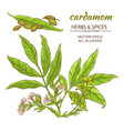 cardamom set vector image vector image