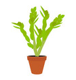 houseplant potted plant zamioculcas vector image