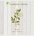 myrtle essential oil aromatic plant vector image vector image