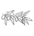olive branch in hand-drawn style vector image