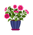 camellia house plant in flower pot vector image vector image