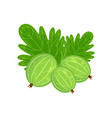 green gooseberry isolated o vector image vector image