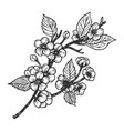 cherry blossom engraving vector image vector image