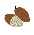 cocoa beans on a white background vector image